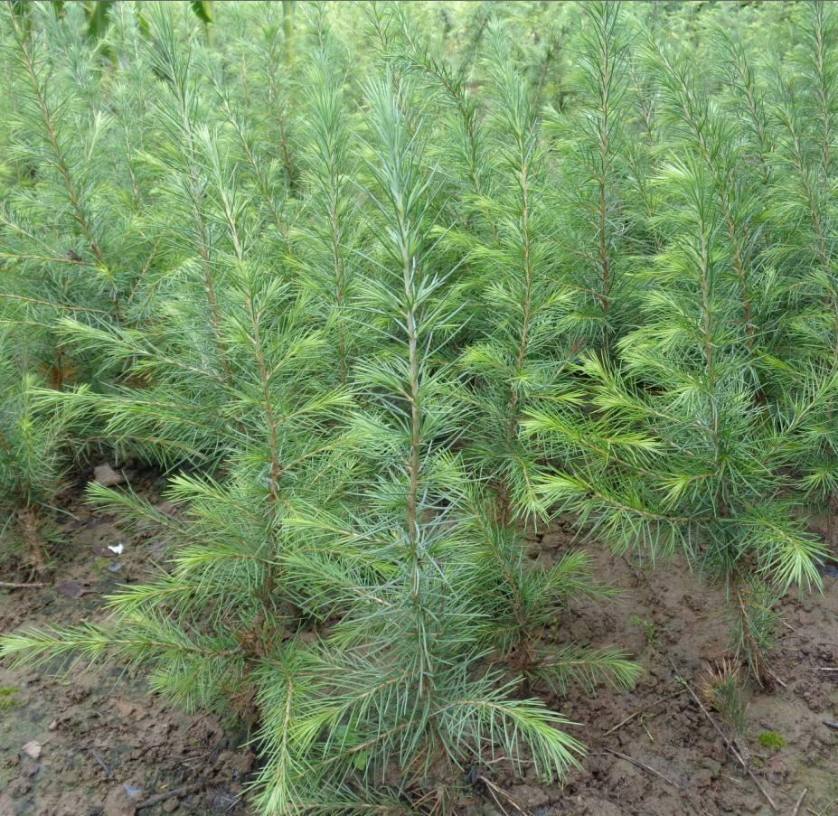 影响雪松苗木价格的六大要素